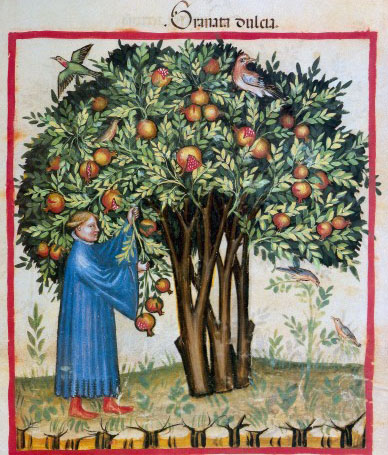 L0027234 Pomegranate tree with man picking some